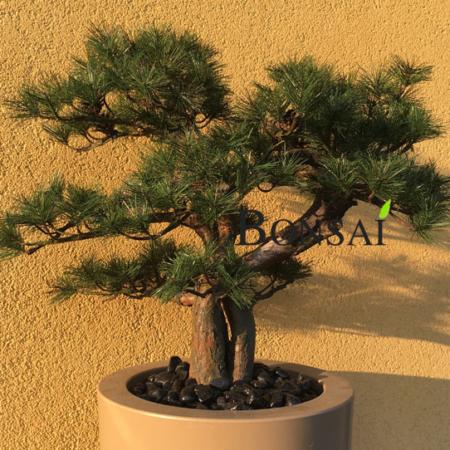 umetni bonsai bor iglavec