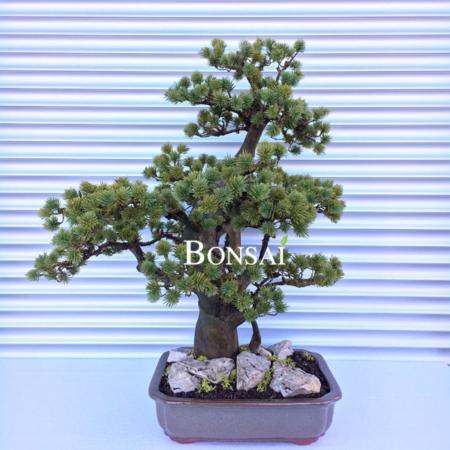 Umetni bonsai borovec pinija - umetni bonsai - okrasni bonsai - bonsai pinja - iglasti bonsai
