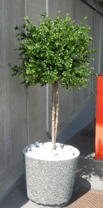 pušpan dekorativna krogla buxus bux