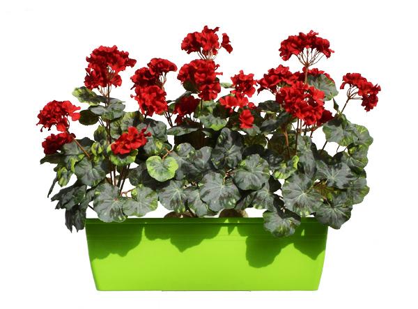 balkonske rože balkonsko cvetje Geranije