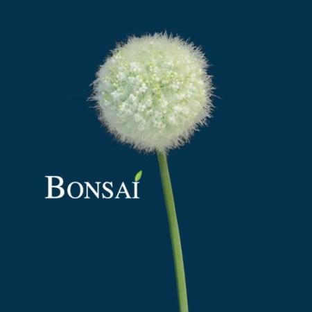 Okrasni luk Allium - umetno cvetje - bel luk - luk cvetje - okrasni luk