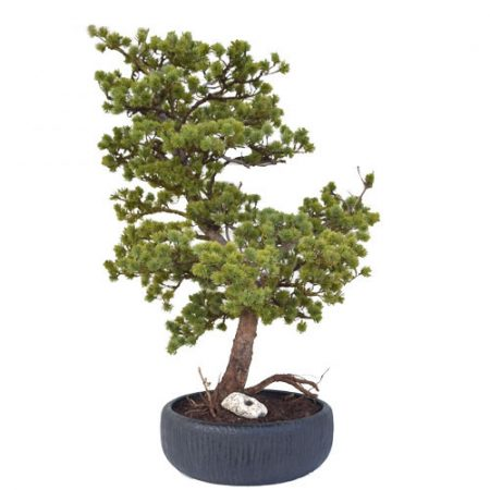 Umetni bonsai pinija Mamut iglavec - umetni bonsai - bonsai iglavec - okrasni bonsai