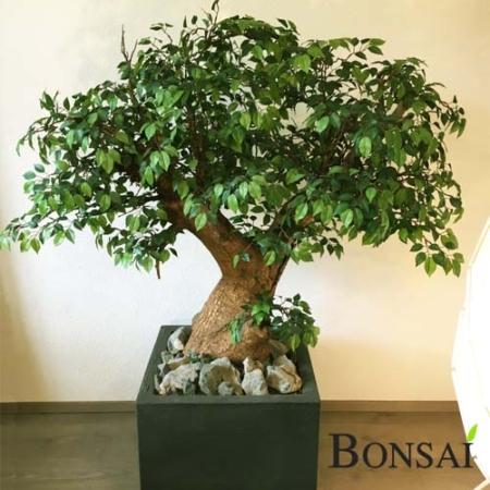 Ficus bonsai 145