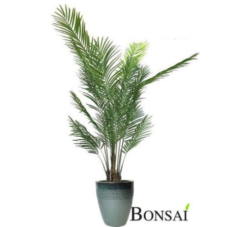 Kencija palma 250 cm - palma - palma 250 cm