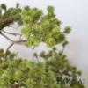 Umetni bonsai Pinus 50 cm - bonsaji iglavci