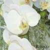 Orhideja v lončku belo- roza barve