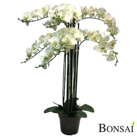 Orhideja bela RT v lončku 110cm