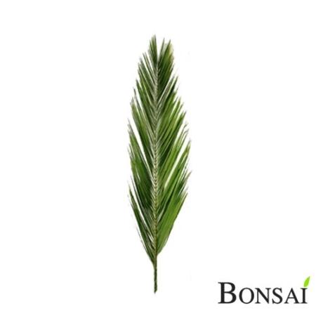 Naravna palmina veja stabilizirana 120 cm
