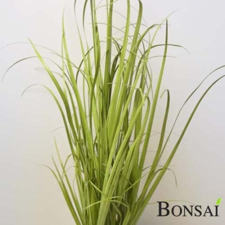 Okrasna trava v črnem lončku - 45cm