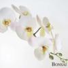 Orhideja bela RT