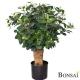 Fikus Panda bonsai 70cm - Ficus Botanika AKCIJA