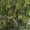 umetno drevo fikus