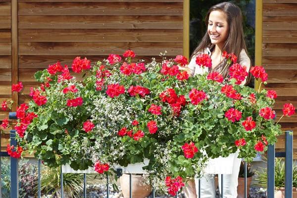 balkonske rože - balkonsko cvetje