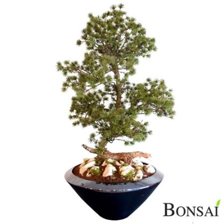 Bonsai Tokyo Handmade 105 cm