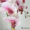 Orhideja roza aranžma RT cm
