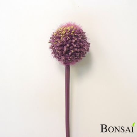 Okrasna čebula Alium roza 60