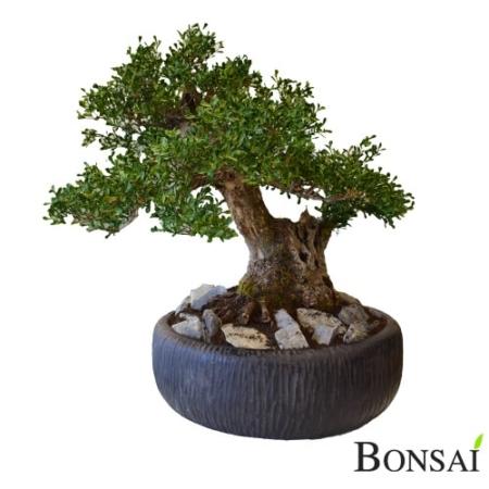 Bonsai ROME 65 cm