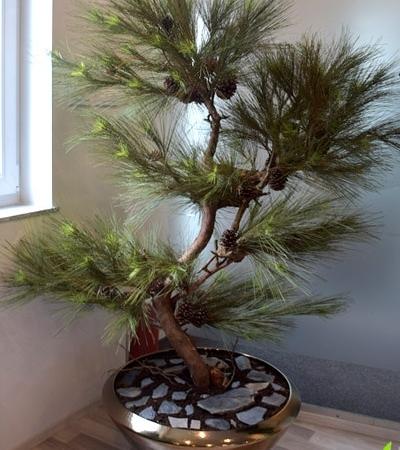 Ročno oblikovan Bonsai 188 cm