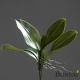 Orhidejin list 25 cm