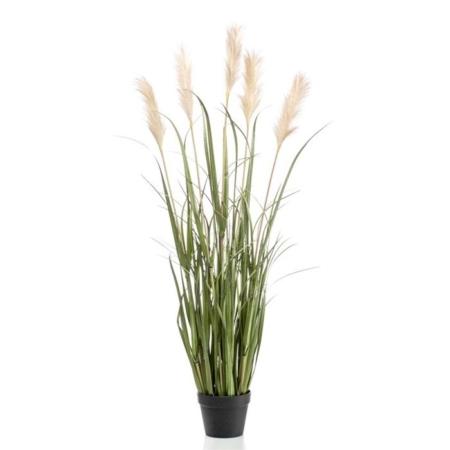 Pampaška trava v lončku 130cm