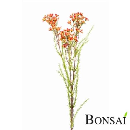 Waxflower roža 75