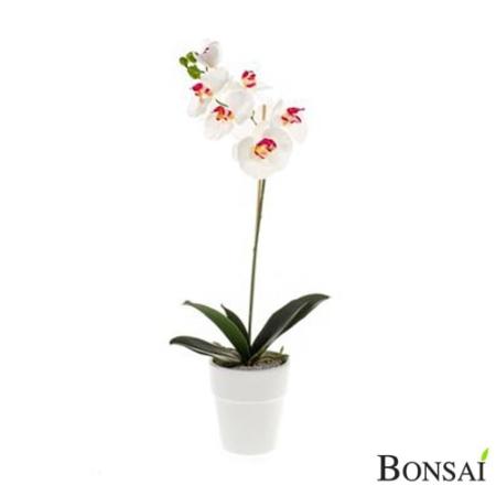 Orhideja belo- roza v lončku 55 cm