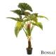 Kolokazija rastlina 160cm
