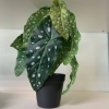 Begonia maculata v loncku polkadot