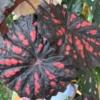 begonija vinsko rdeča 115 zoom