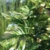 Umetna monstera variegata