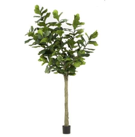Ficus Lyrata Figa 300cm
